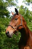 Het paardportret van de baai Stock Fotografie
