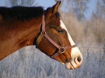 Het paardportret van de baai in de winter Royalty-vrije Stock Foto's