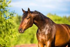 Het paardportret van de baai in de zomer Stock Foto