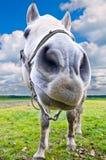 Het paardportret van de close-up Stock Afbeelding