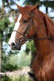 Het paardportret van de kastanje met teugel Stock Afbeeldingen