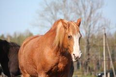Het paardportret van Palomino draght Royalty-vrije Stock Afbeeldingen
