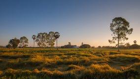 Het padiepadieveld van reproductief stadium, rijpe korrel bruine ric stock afbeelding