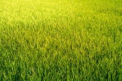 Het padieveld kijkt als Groen gras everywhere stock afbeelding
