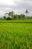 Het Padieveld van Bali Royalty-vrije Stock Afbeeldingen