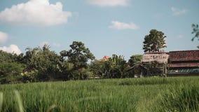 Het padieveld van Bali door huizen en bomen wordt gegrenst die stock video