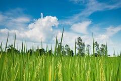 Het padieveld van de padiejasmijn met blauwe hemel Royalty-vrije Stock Foto