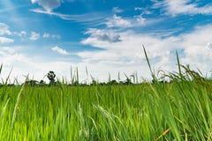 Het padieveld van de padiejasmijn met blauwe hemel Royalty-vrije Stock Foto's