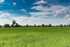 Het padieveld van de padiejasmijn met blauwe hemel Royalty-vrije Stock Afbeeldingen