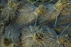 Het Padieveld van de rijstbroek de korenaren binden stock foto