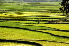 Het padieveld van het terras in Vietnam Stock Afbeelding
