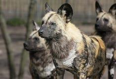 Het Pak van de hyena Stock Foto's