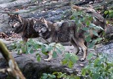 Het pak van de wolf stock foto's