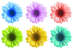 Het pak van gekleurde chrysant bloeit geïsoleerde macro stock afbeelding