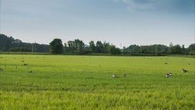 Het pak wilde ganzen is geweid op een weide in Nedersaksen stock video