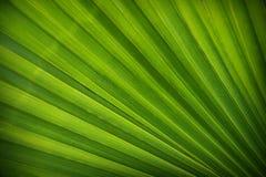 Het palmblad Royalty-vrije Stock Afbeeldingen