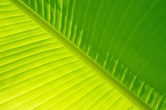 Het Palmblad van de banaan royalty-vrije stock fotografie
