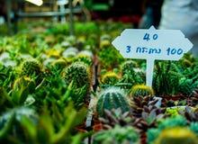 Het palmblad van de cactussuiker Stock Afbeelding