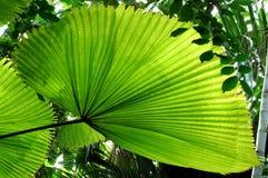 Het Palmblad van de ventilator Royalty-vrije Stock Afbeeldingen