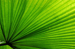 Het Palmblad van de ventilator Royalty-vrije Stock Foto