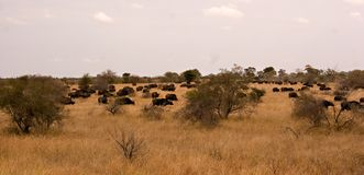 Het panorama van buffels Royalty-vrije Stock Foto's