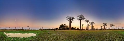 Het panorama van de baobabzonsondergang Stock Afbeeldingen