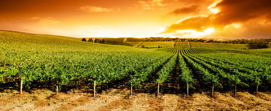 Het Panorama van de Wijngaard van de zonsondergang Stock Foto