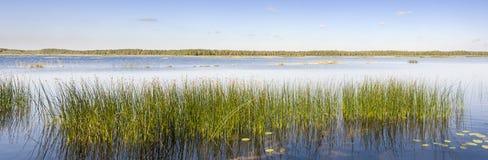 Het panorama van groen riet groeit in een meer Stock Afbeelding