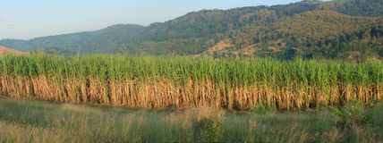 Het panorama van het suikerriet Royalty-vrije Stock Foto's
