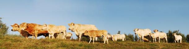 Het panorama van koeien Stock Foto