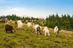 Het panorama van landschap met kudde van schapen en de geiten weiden op groen weiland in de bergen stock fotografie