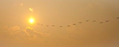 Het panorama van pelikanen Royalty-vrije Stock Fotografie