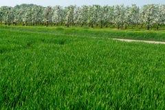Het panoramalandschap van de lentegebieden met vers groen gras en appl Royalty-vrije Stock Afbeeldingen