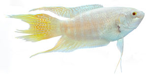 Het Paradijs Betta Fish.Macropodus Opercularis van de albino. Royalty-vrije Stock Foto