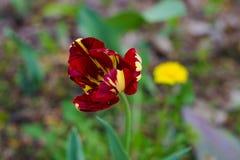 In het park kwam een tulp van ongebruikelijke kleur tot bloei De bloemblaadjes zijn geschilderd in rood, geel en purper Op de ach Stock Afbeeldingen