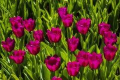 In het park kwamen de violette tulpen tot bloei stock foto