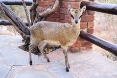 Het Park van Afrika - van Zuid-Afrika - Kruger- Stock Foto's