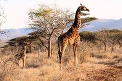 Het Park van Afrika - van Zuid-Afrika - Kruger- Stock Fotografie