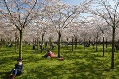 Het park van de kersenbloesem Royalty-vrije Stock Afbeelding