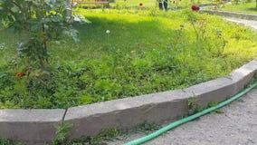 Het park van de tuinmanstad met slang het water geven bloemen stock video