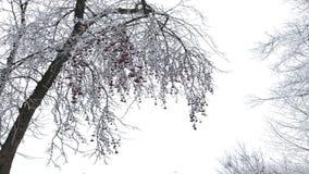 Het park van de winter De struiken en de bomen zijn behandeld met dikke vorst op de takken hangen rode vruchten stock video