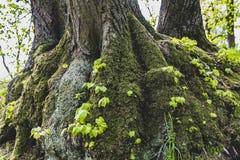 Het Park van Praag Pruhonice, boomstam van een boom met mos wordt behandeld dat royalty-vrije stock afbeelding