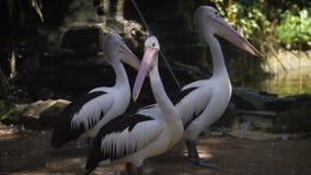 Het park van vogels aan Bali Een vijver met Pelikanen Drie pelikanen in de habitat Zij zeer grote grootte Tegen stock videobeelden