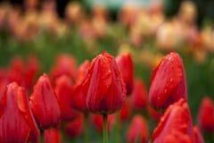 Het park werd gepareld met rode tulpen na de zware regen royalty-vrije stock foto