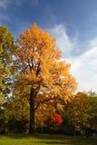 Het parkboom van de herfst Stock Afbeeldingen
