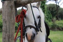 Het Parkpaard van San Rossore stock afbeeldingen