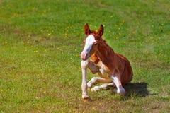 Het pasgeboren baby-paard probeert om zich op zijn voeten te bevinden stock afbeelding