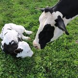 Het pasgeboren kalf van Holstein let zorgvuldig op door zijn mamma royalty-vrije stock afbeelding