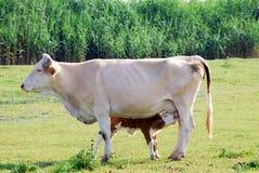 Het pasgeboren kalf voeden met melk Stock Afbeelding