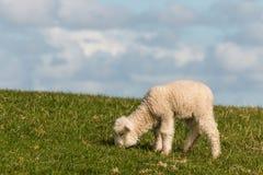 het pasgeboren lam weiden op weide Stock Fotografie